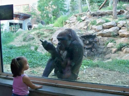 ape-gives-finger.jpg?w=500&h=375
